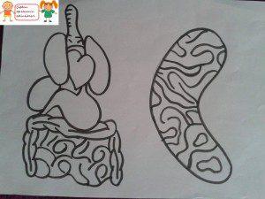 iç organlarımız