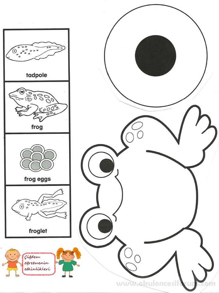 Kurbağanın Oluşum Aşamaları Okul öncesi Etkinlikleri